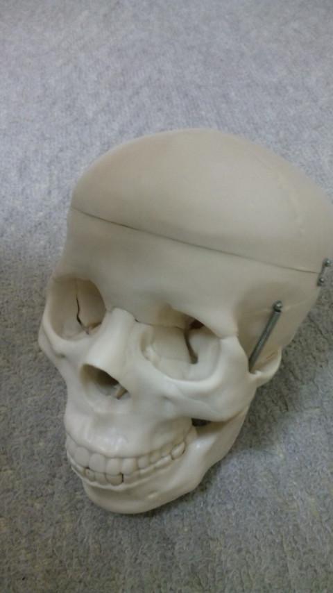 頭蓋骨模型。